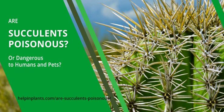 Are succulents poisonous for humans and animals - learn what succulents are poisonous