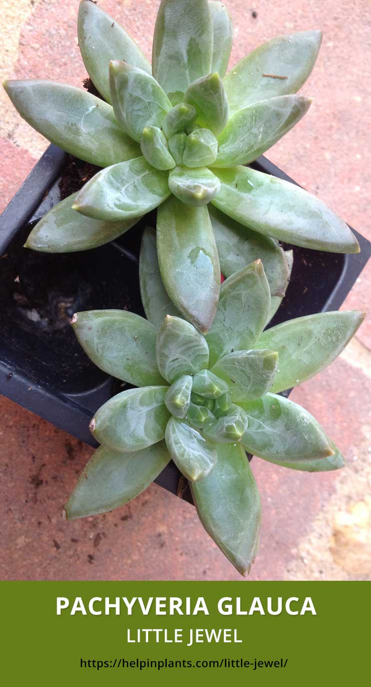 Details Of Pachyveria Glauca Little Jewel Help In Plants