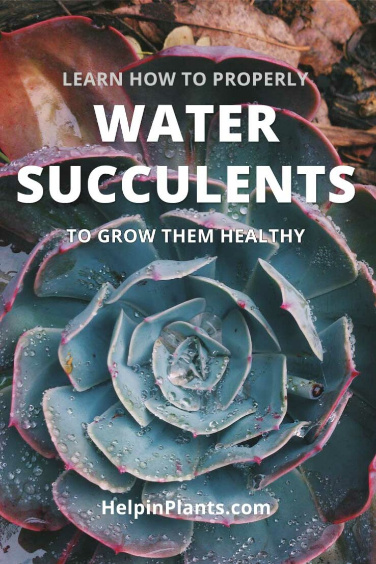 learn how to water succulents plants
