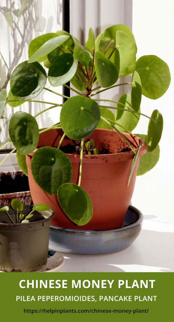 Learn everything about the Chinese Money Plant - Pilea Peperomioides, Pancake Plant