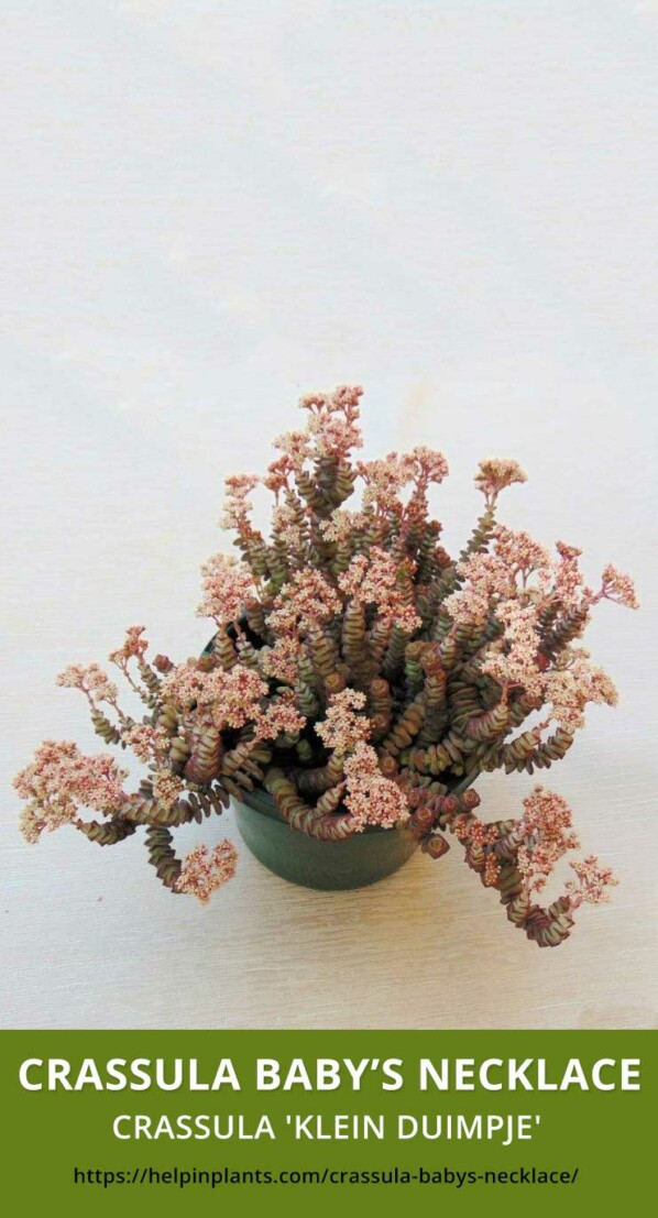 Crassula Baby's Necklace Succulent species