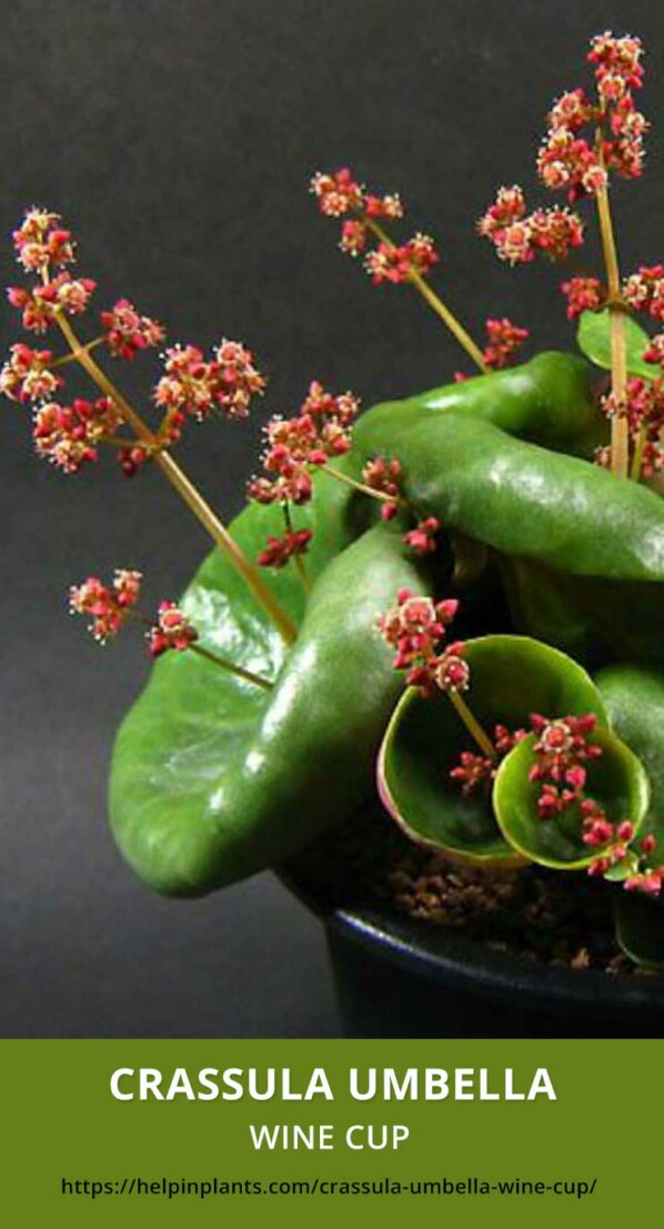 Crassula Umbella Wine Cup Succulent species